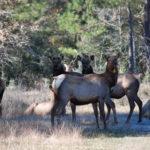 bandc elk