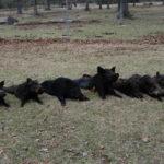 bandc pigs